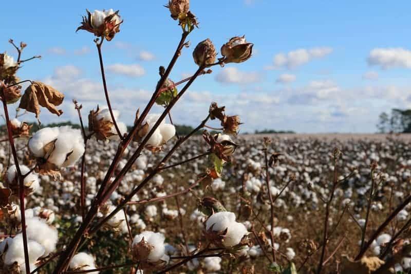 Cotton plants growing in a field