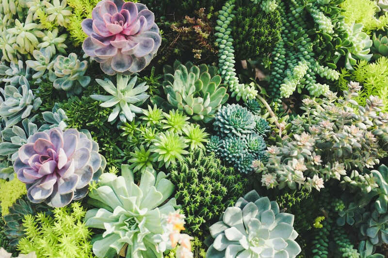 A variety of drought-tolerant succulent plants