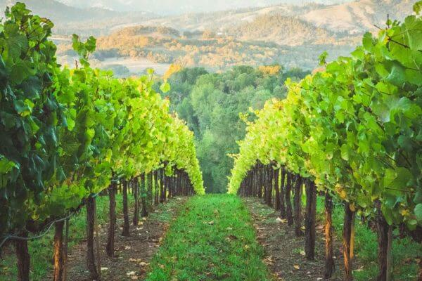 The pathway between two rows of grapevines in Healdsburg, California.