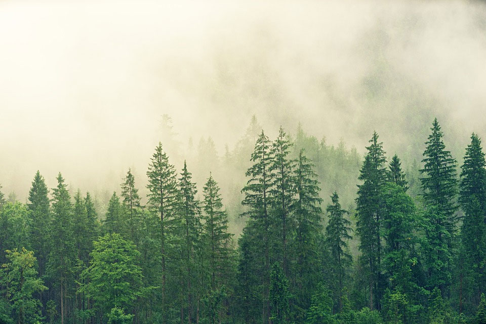 A fog hanging over a coniferous forest
