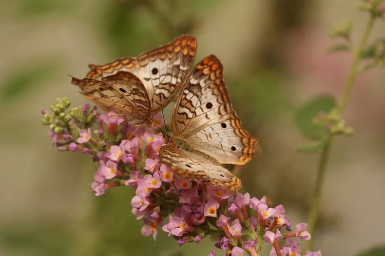 Two butterflies feeding on a cluster of tiny purple flowers