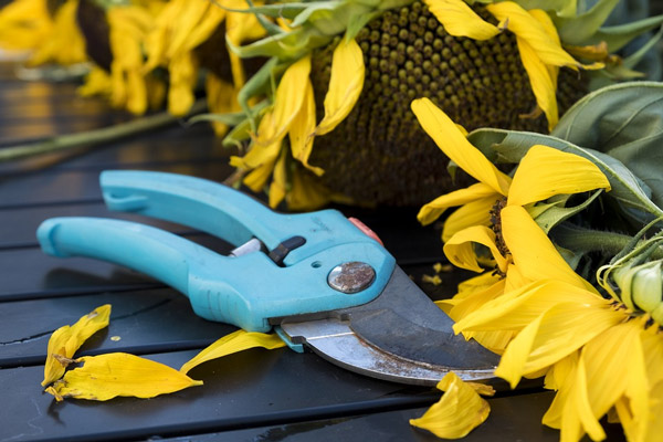 A pair of light-blue pruning shears on a table next to cut sunflowers.