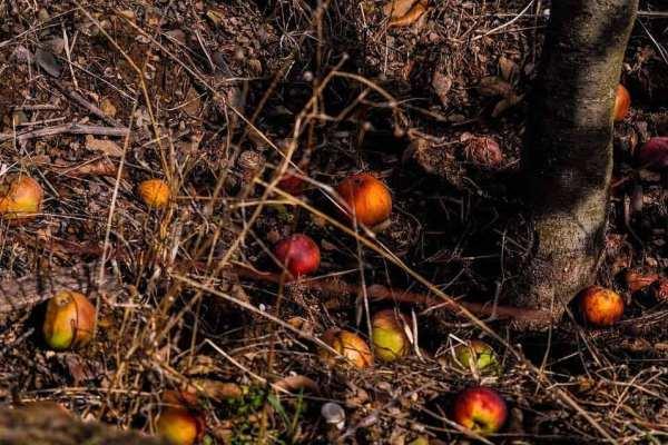 Fallen apples sitting on top of abundant organic matter.