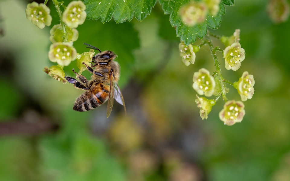 A honey bee collecting pollen from small green flowers.