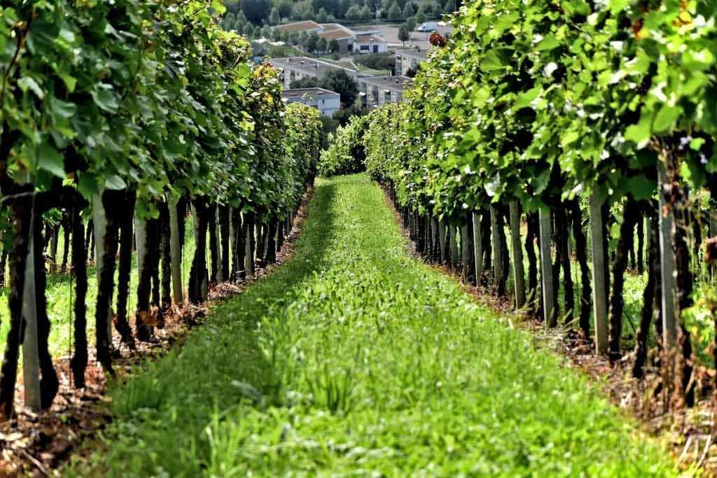 A grassy strip between two rows of vines in a vineyard.