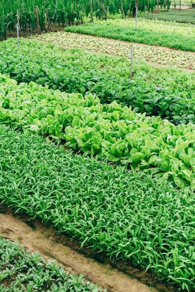 Heads of lettuce growing in a market garden