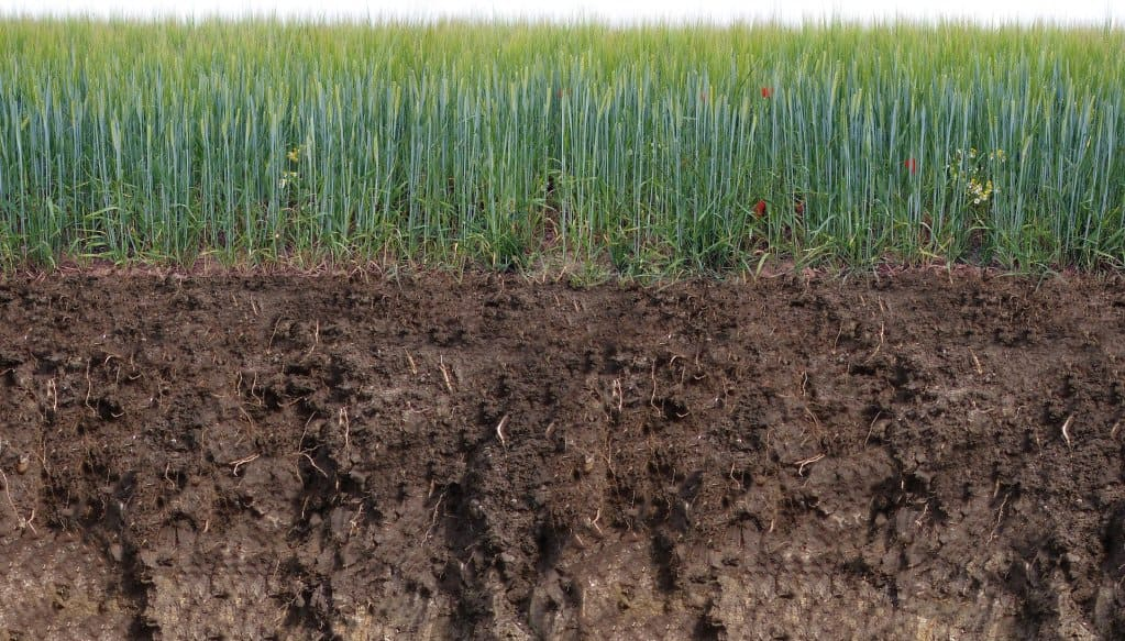 A cross-section of the topsoil below a barley crop.