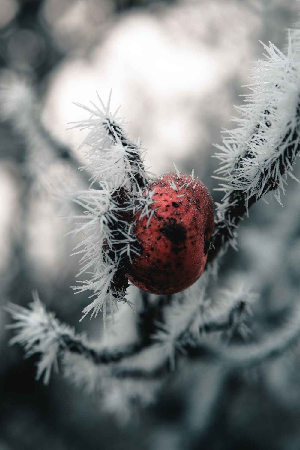 A fruiting branch covered in ice can become frost damaged.