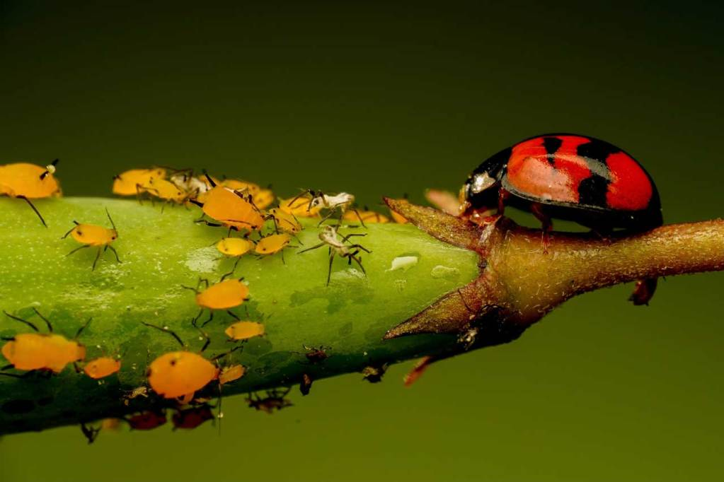A ladybird chasing aphids on a leaf.