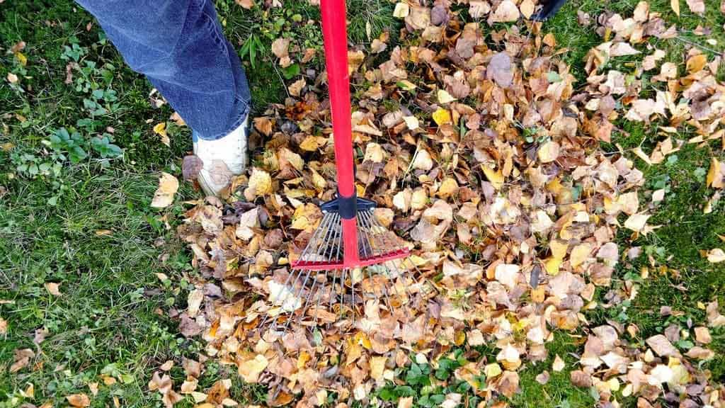 Raking fall leaves is important for frost protection.